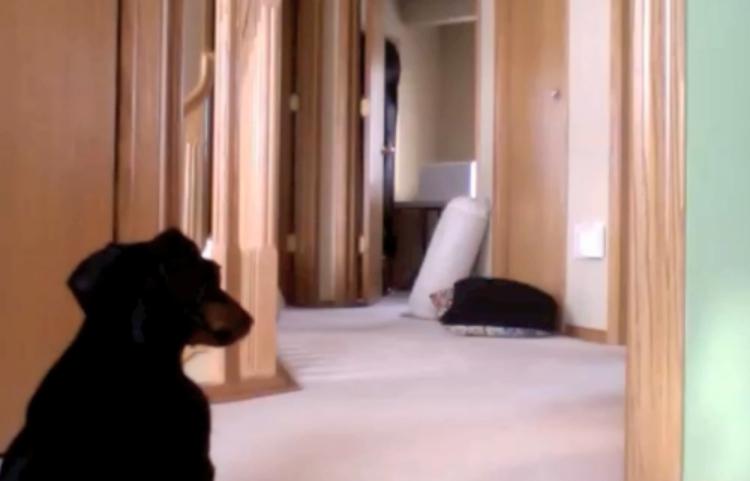 Dachshund runs around after her bath.