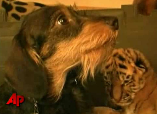 Dachshund and Tiger at German Zoo