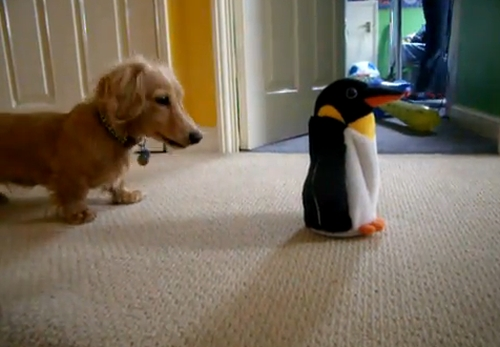 Rocky the Dachshund vs. the Penguin