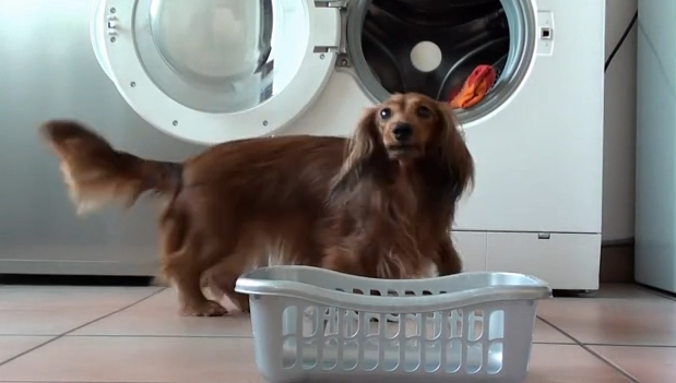 Gypsie the Dachshund does amazing tricks.