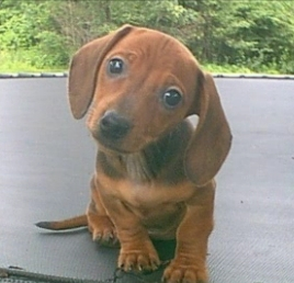 Learn about the history of miniature dachshunds.