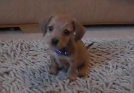 Rolo the Dachshund Puppy